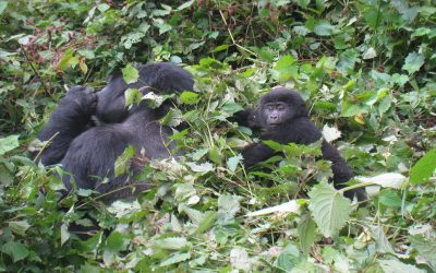 Bwindi Mountain gorillas - mountain gorillas in rwanda